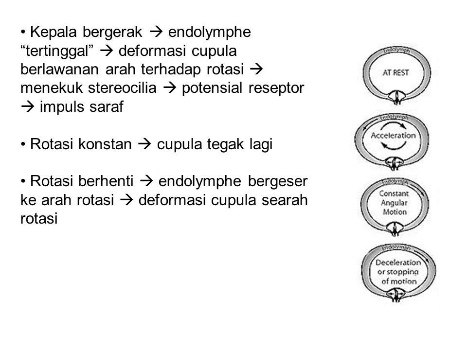 """Kepala bergerak  endolymphe """"tertinggal""""  deformasi cupula berlawanan arah terhadap rotasi  menekuk stereocilia  potensial reseptor  impuls saraf"""