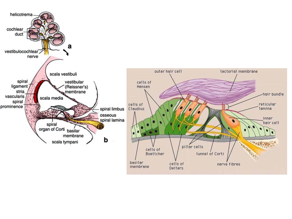Organon Corti (organon spiralis) Sel rambut 3 baris outer hair cells (puncak tertanam di membrana tectoria; 5-10% inervasi sensoris; 90% inervasi motoris kolinergik) 1 baris inner hair cells (90-95% inervasi sensoris; sedikit inervasi motoris) Hair bundle = 30 – 150 stereocilia (panjang berbeda-beda); kinocilium di cochlea dewasa hilang Stereocilia terendam endolymphe Dasar sel rambut terendam perilymphe