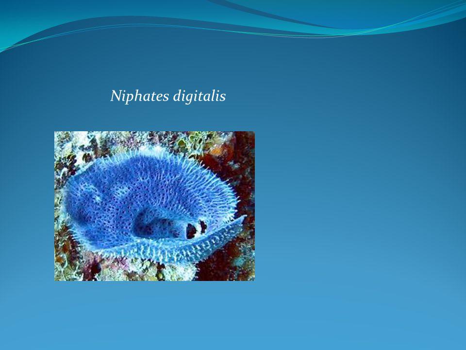 Niphates digitalis