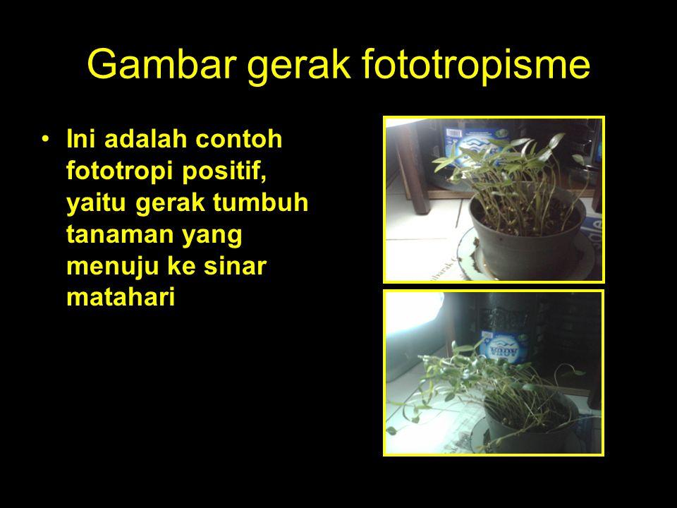 Gambar gerak fototropisme Ini adalah contoh fototropi positif, yaitu gerak tumbuh tanaman yang menuju ke sinar matahari