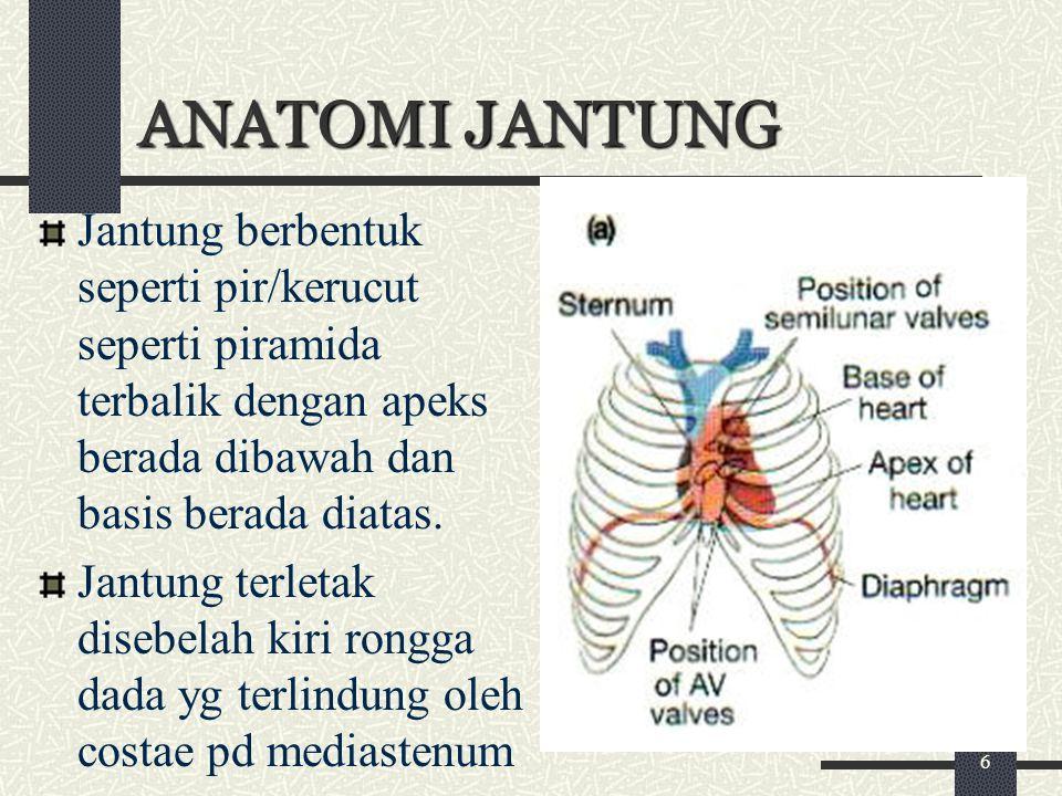 ANATOMI JANTUNG Jantung berbentuk seperti pir/kerucut seperti piramida terbalik dengan apeks berada dibawah dan basis berada diatas. Jantung terletak
