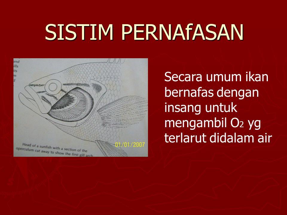 Elasmobranchi  Rajiformes eksternal gill slit tersusun scr seri  Squaliformes eksternal gill slit tersusun scr lateral (kesamping)  Bag.