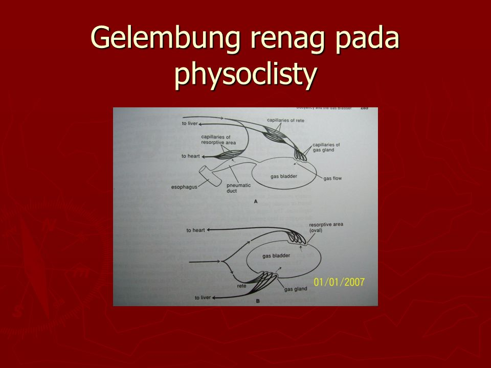 Gelembung renag pada physoclisty