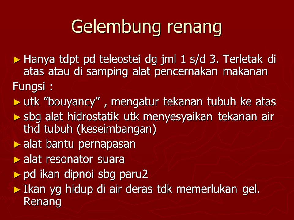 Gelembung renang ► Hanya tdpt pd teleostei dg jml 1 s/d 3.
