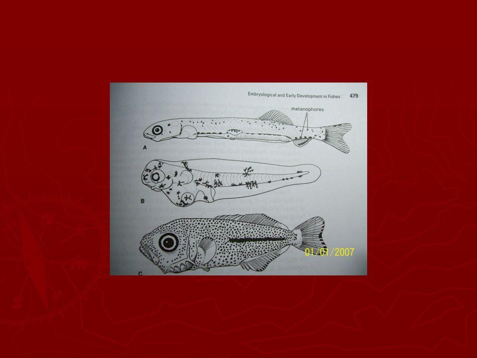 Embrio ikan Marlin