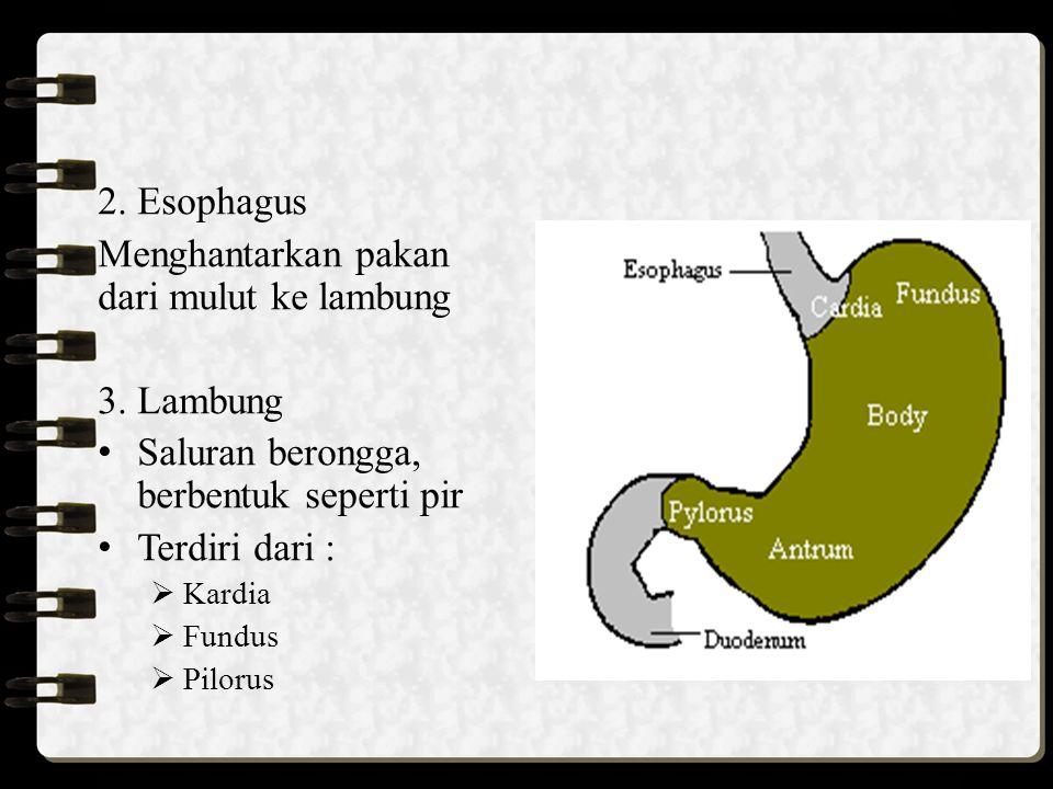 2. Esophagus Menghantarkan pakan dari mulut ke lambung 3. Lambung Saluran berongga, berbentuk seperti pir Terdiri dari :  Kardia  Fundus  Pilorus