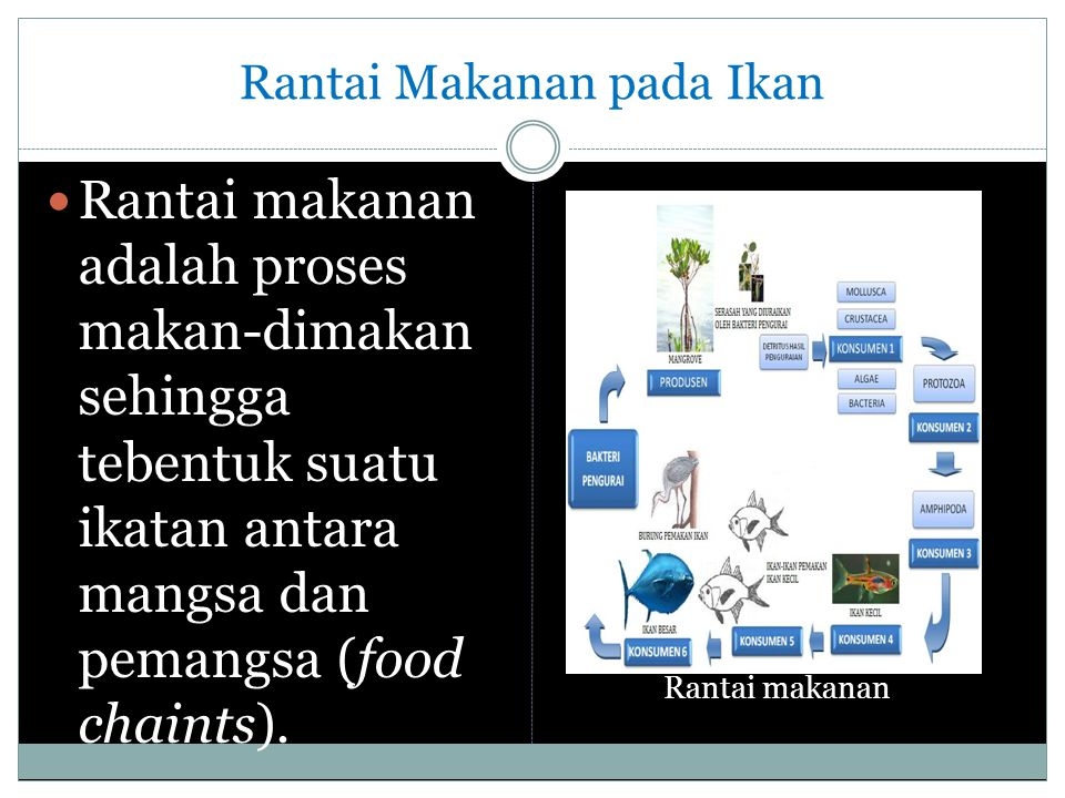 Rantai Makanan pada Ikan Rantai makanan adalah proses makan-dimakan sehingga tebentuk suatu ikatan antara mangsa dan pemangsa (food chaints). Rantai m
