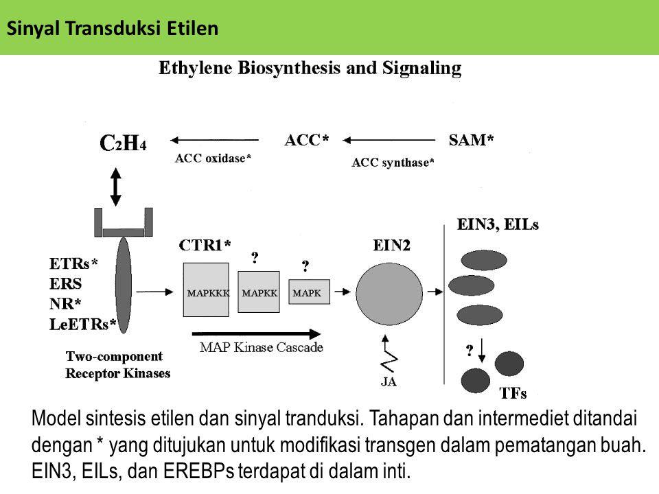 Model sintesis etilen dan sinyal tranduksi. Tahapan dan intermediet ditandai dengan * yang ditujukan untuk modifikasi transgen dalam pematangan buah.