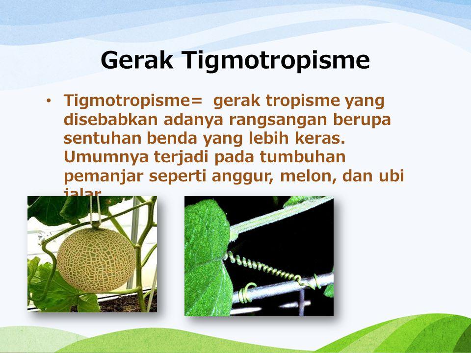 Gerak Tigmotropisme Tigmotropisme= gerak tropisme yang disebabkan adanya rangsangan berupa sentuhan benda yang lebih keras. Umumnya terjadi pada tumbu