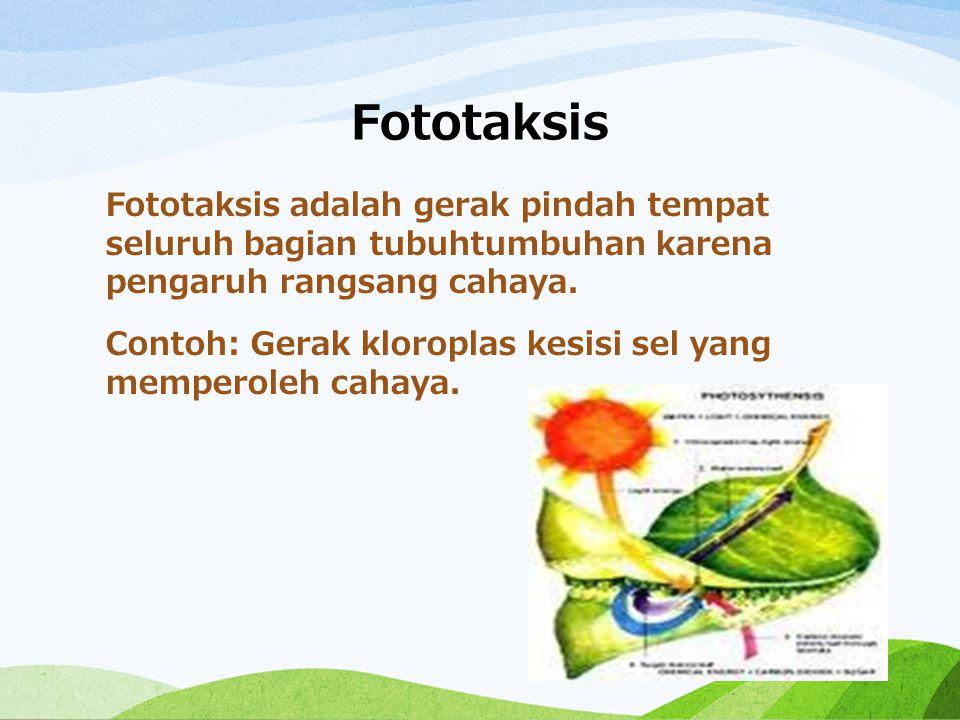 Fototaksis Fototaksis adalah gerak pindah tempat seluruh bagian tubuhtumbuhan karena pengaruh rangsang cahaya. Contoh: Gerak kloroplas kesisi sel yang