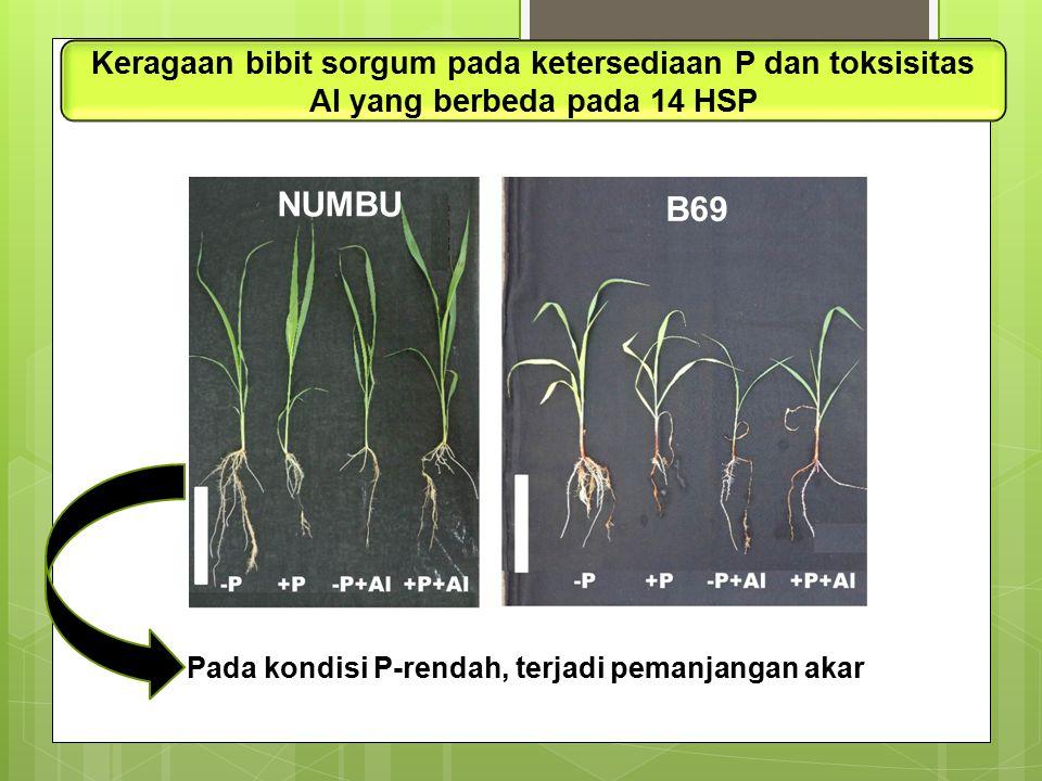 Keragaan bibit sorgum pada ketersediaan P dan toksisitas Al yang berbeda pada 14 HSP Pada kondisi P-rendah, terjadi pemanjangan akar NUMBU B69
