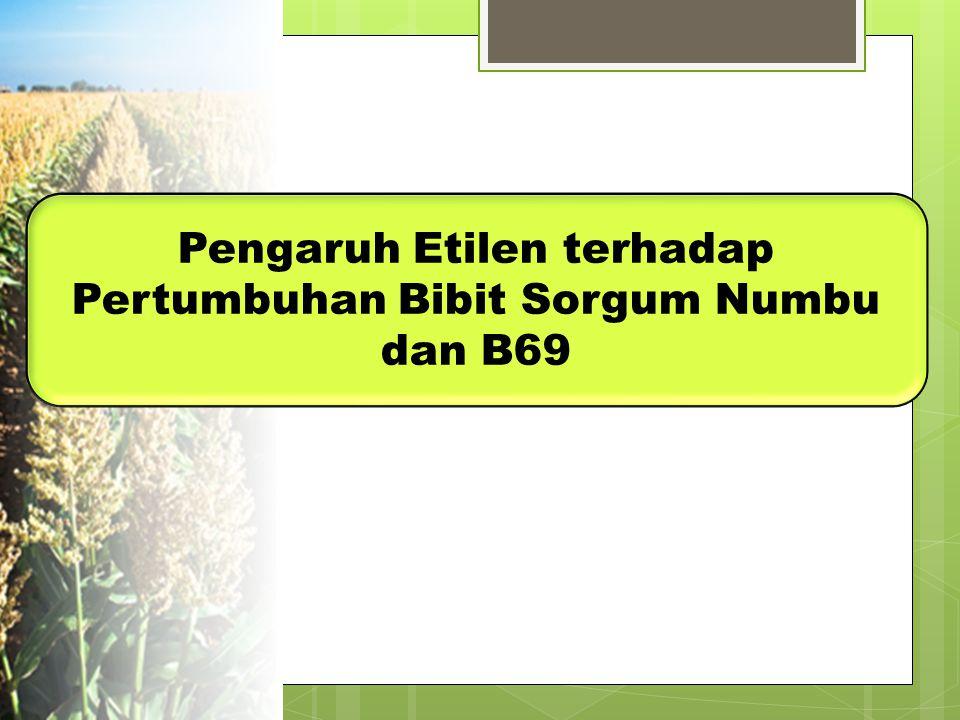Pengaruh Etilen terhadap Pertumbuhan Bibit Sorgum Numbu dan B69