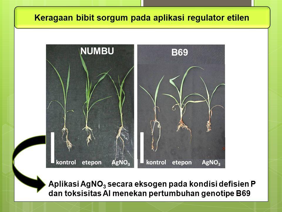 Aplikasi AgNO 3 secara eksogen pada kondisi defisien P dan toksisitas Al menekan pertumbuhan genotipe B69 Keragaan bibit sorgum pada aplikasi regulato