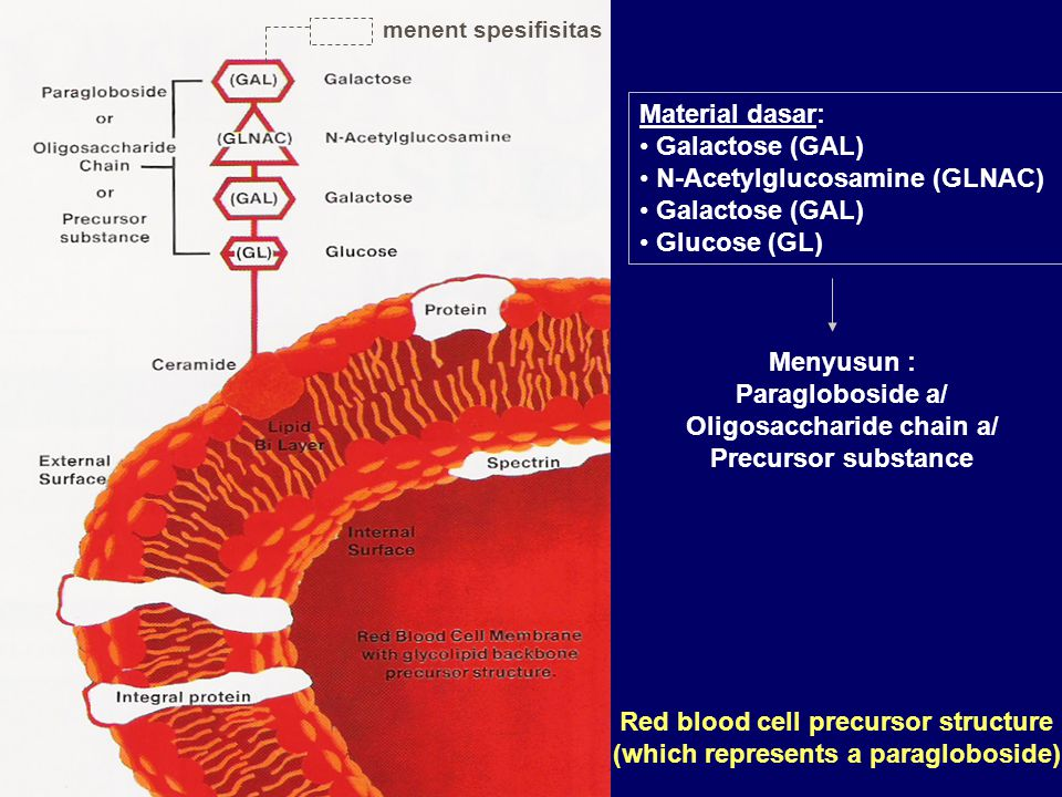 Red blood cell precursor structure (which represents a paragloboside) Material dasar: Galactose (GAL) N-Acetylglucosamine (GLNAC) Galactose (GAL) Gluc