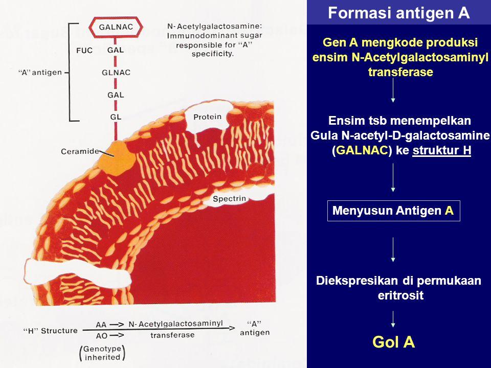 Formasi antigen A Gen A mengkode produksi ensim N-Acetylgalactosaminyl transferase Ensim tsb menempelkan Gula N-acetyl-D-galactosamine (GALNAC) ke str