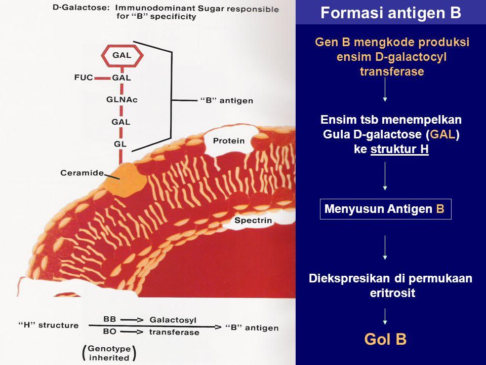Formasi antigen B Gen B mengkode produksi ensim D-galactocyl transferase Ensim tsb menempelkan Gula D-galactose (GAL) ke struktur H Menyusun Antigen B