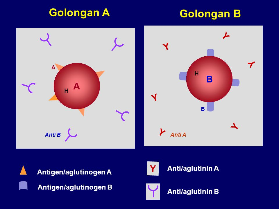 A A Anti B B Anti A B H H Y Y Y Y Y Y Antigen/aglutinogen A Antigen/aglutinogen B Anti/aglutinin A Anti/aglutinin B Y Golongan A Golongan B