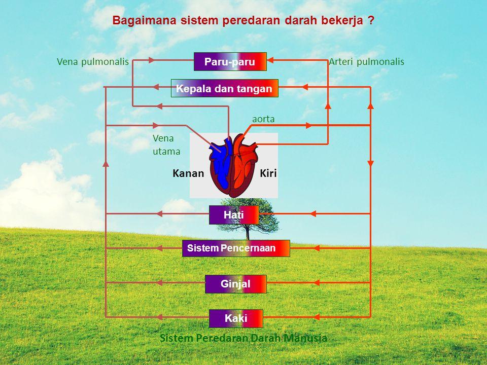 Hati Sistem Pencernaan Ginjal Kaki Arteri pulmonalis aorta Vena pulmonalis Vena utama KiriKanan Bagaimana sistem peredaran darah bekerja .