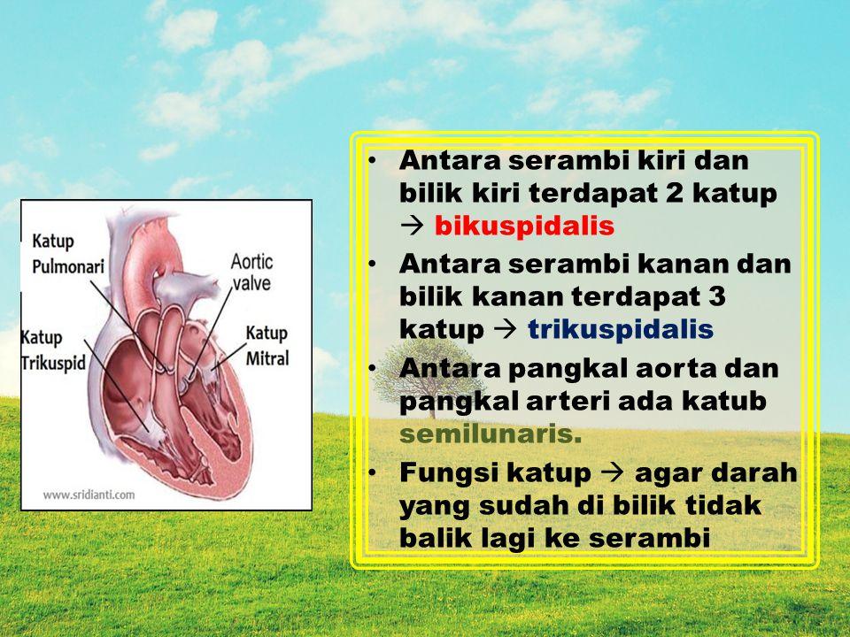 Antara serambi kiri dan bilik kiri terdapat 2 katup  bikuspidalis Antara serambi kanan dan bilik kanan terdapat 3 katup  trikuspidalis Antara pangkal aorta dan pangkal arteri ada katub semilunaris.