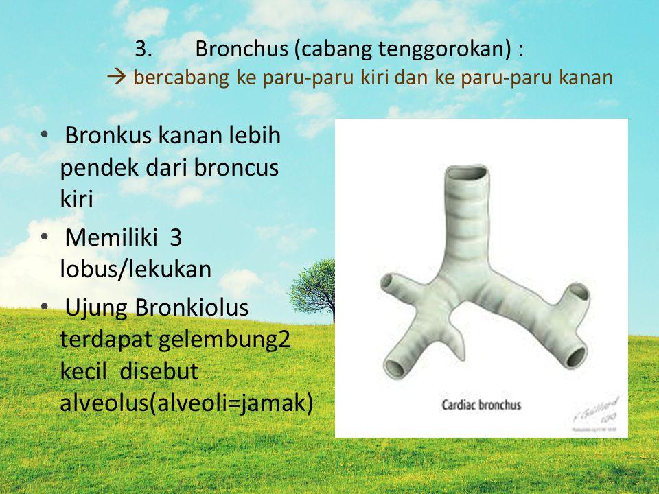 3.Bronchus (cabang tenggorokan) :  bercabang ke paru-paru kiri dan ke paru-paru kanan Bronkus kanan lebih pendek dari broncus kiri Memiliki 3 lobus/lekukan Ujung Bronkiolus terdapat gelembung2 kecil disebut alveolus(alveoli=jamak)