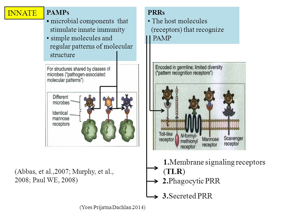 PAMPs microbial components that stimulate innate immunity simple molecules and regular patterns of molecular structure PRRs The host molecules (receptors) that recognize PAMP 1.Membrane signaling receptors (TLR) 2.Phagocytic PRR 3.Secreted PRR (Yoes Prijatna Dachlan 2014) (Abbas, et al.,2007; Murphy, et al., 2008; Paul WE, 2008) INNATE