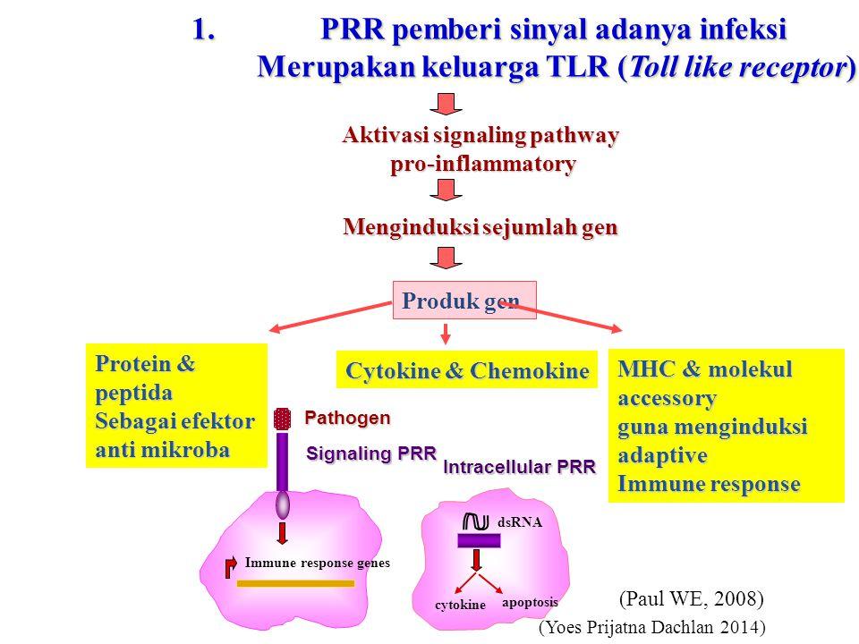 1.PRR pemberi sinyal adanya infeksi Merupakan keluarga TLR (Toll like receptor) Merupakan keluarga TLR (Toll like receptor) 1.PRR pemberi sinyal adanya infeksi Merupakan keluarga TLR (Toll like receptor) Merupakan keluarga TLR (Toll like receptor) Immune response genes Pathogen Signaling PRR cytokine apoptosis dsRNA Intracellular PRR Aktivasi signaling pathway pro-inflammatory Menginduksi sejumlah gen Produk gen Cytokine & Chemokine MHC & molekul accessory guna menginduksi adaptive Immune response Protein & peptida Sebagai efektor anti mikroba (Yoes Prijatna Dachlan 2014) (Paul WE, 2008)