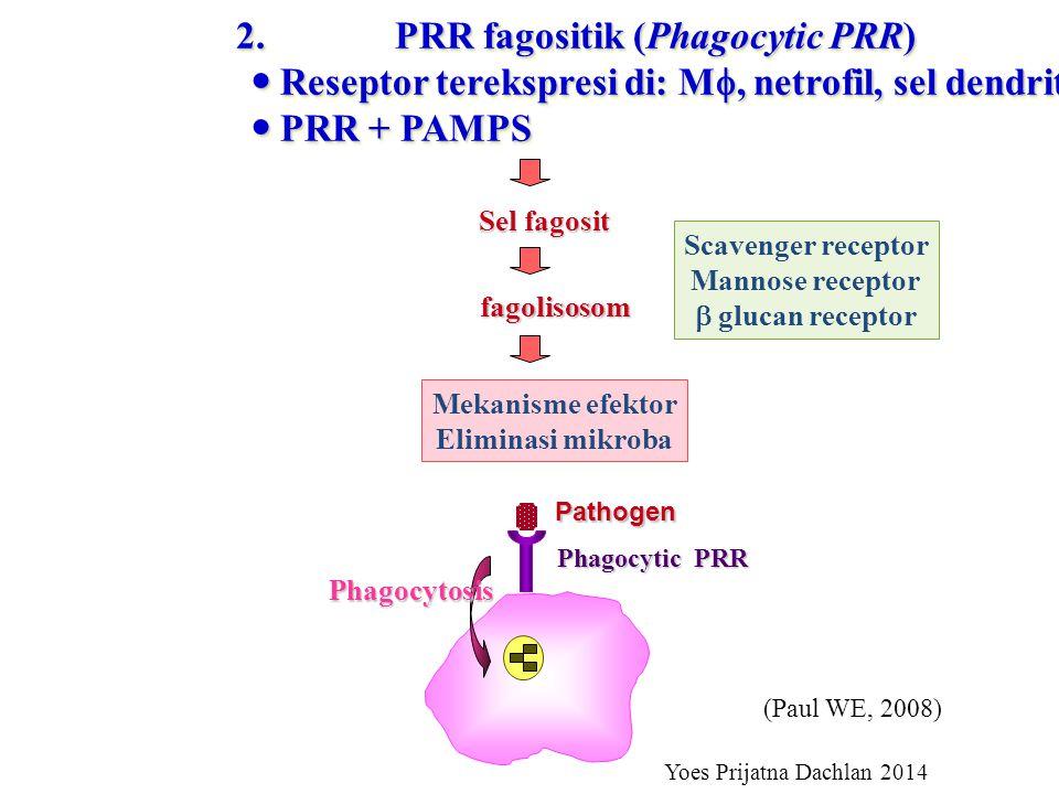 2.PRR fagositik (Phagocytic PRR) Reseptor terekspresi di: M , netrofil, sel dendrit Reseptor terekspresi di: M , netrofil, sel dendrit PRR + PAMPS PRR + PAMPS 2.PRR fagositik (Phagocytic PRR) Reseptor terekspresi di: M , netrofil, sel dendrit Reseptor terekspresi di: M , netrofil, sel dendrit PRR + PAMPS PRR + PAMPS Sel fagosit fagolisosom Mekanisme efektor Eliminasi mikroba Scavenger receptor Mannose receptor  glucan receptor Pathogen Phagocytic PRR Phagocytosis Yoes Prijatna Dachlan 2014 (Paul WE, 2008)