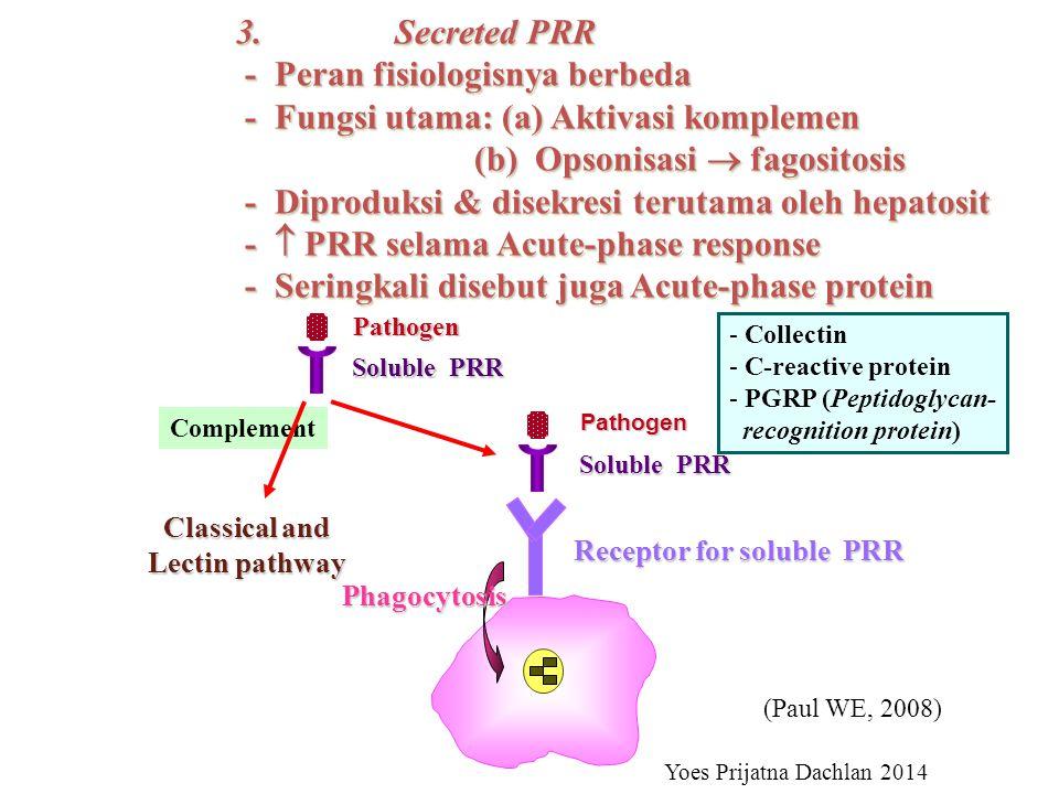 3.Secreted PRR - Peran fisiologisnya berbeda - Peran fisiologisnya berbeda - Fungsi utama: (a) Aktivasi komplemen - Fungsi utama: (a) Aktivasi komplemen (b) Opsonisasi  fagositosis (b) Opsonisasi  fagositosis - Diproduksi & disekresi terutama oleh hepatosit - Diproduksi & disekresi terutama oleh hepatosit -  PRR selama Acute-phase response -  PRR selama Acute-phase response - Seringkali disebut juga Acute-phase protein - Seringkali disebut juga Acute-phase protein 3.Secreted PRR - Peran fisiologisnya berbeda - Peran fisiologisnya berbeda - Fungsi utama: (a) Aktivasi komplemen - Fungsi utama: (a) Aktivasi komplemen (b) Opsonisasi  fagositosis (b) Opsonisasi  fagositosis - Diproduksi & disekresi terutama oleh hepatosit - Diproduksi & disekresi terutama oleh hepatosit -  PRR selama Acute-phase response -  PRR selama Acute-phase response - Seringkali disebut juga Acute-phase protein - Seringkali disebut juga Acute-phase protein Pathogen Soluble PRR Complement Classical and Lectin pathway Pathogen Soluble PRR Phagocytosis Receptor for soluble PRR - Collectin - C-reactive protein - PGRP (Peptidoglycan- recognition protein) Yoes Prijatna Dachlan 2014 (Paul WE, 2008)