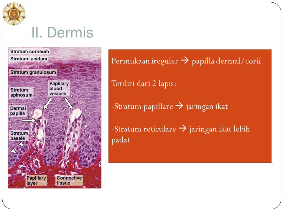 II. Dermis Permukaan ireguler  papilla dermal/corii Terdiri dari 2 lapis: -Stratum papillare  jaringan ikat -Stratum reticulare  jaringan ikat lebi
