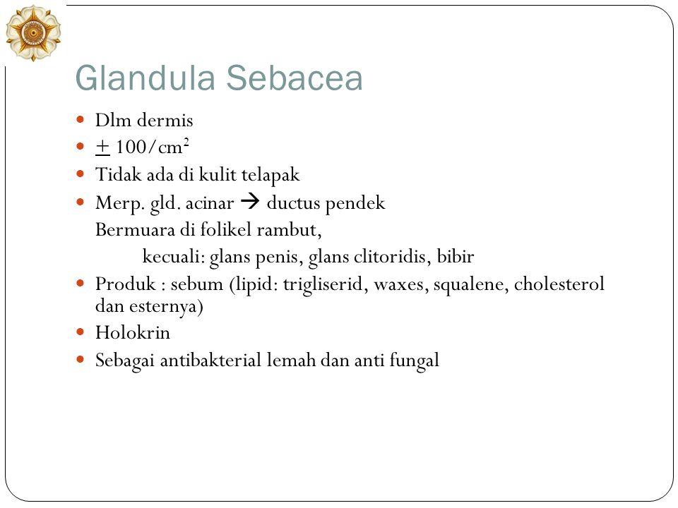 Glandula Sebacea Dlm dermis + 100/cm 2 Tidak ada di kulit telapak Merp.