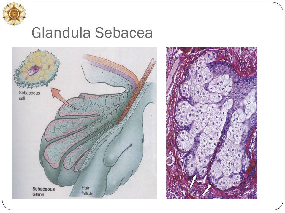 Glandula Sebacea