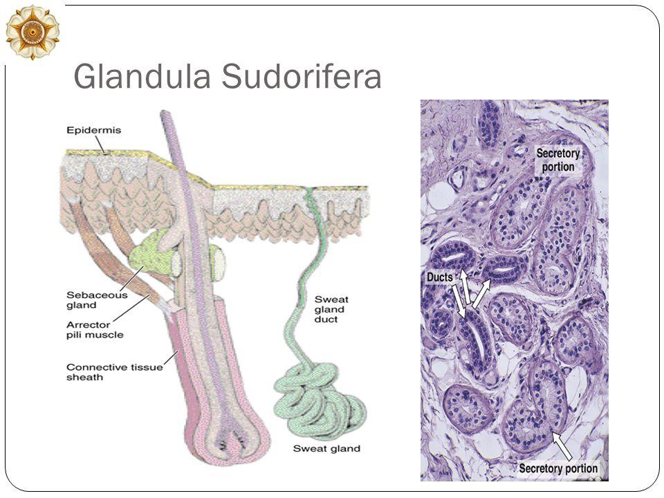 Glandula Sudorifera