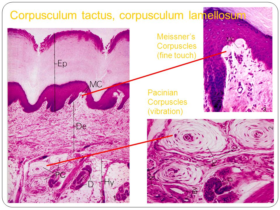 Corpusculum tactus, corpusculum lamellosum Meissner's Corpuscles (fine touch) Pacinian Corpuscles (vibration)