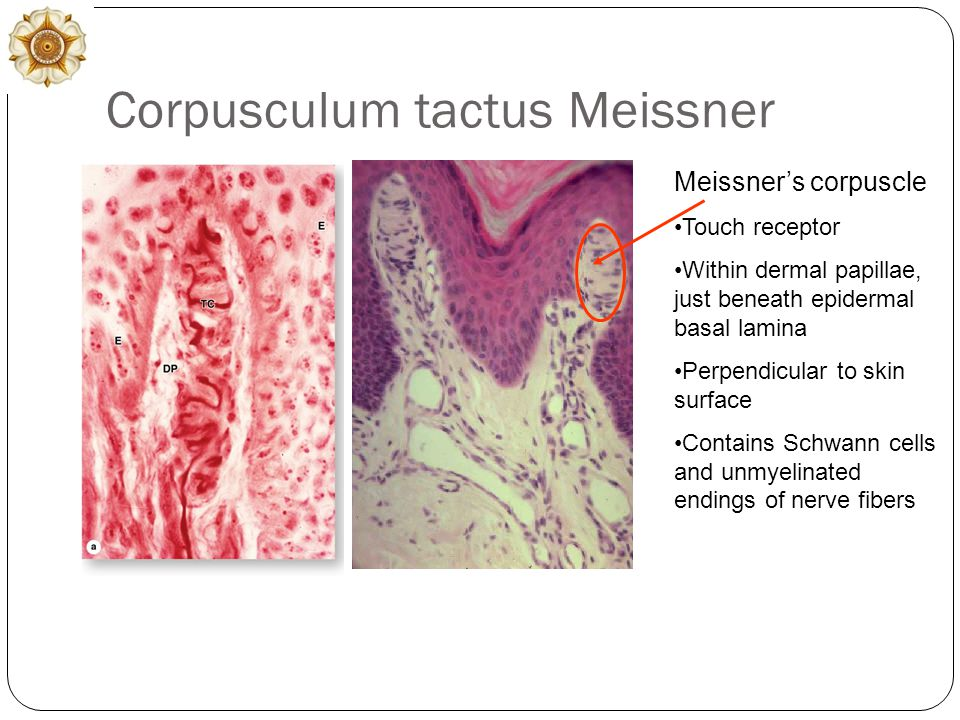 Corpusculum tactus Meissner Meissner's corpuscle Touch receptor Within dermal papillae, just beneath epidermal basal lamina Perpendicular to skin surface Contains Schwann cells and unmyelinated endings of nerve fibers