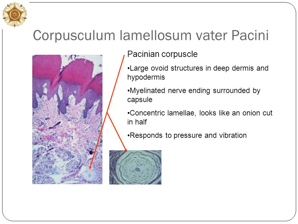 Corpusculum lamellosum vater Pacini Pacinian corpuscle Large ovoid structures in deep dermis and hypodermis Myelinated nerve ending surrounded by capsule Concentric lamellae, looks like an onion cut in half Responds to pressure and vibration