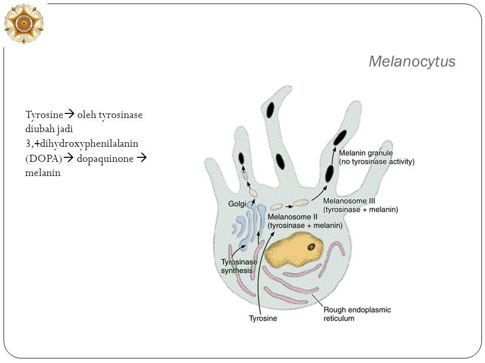 Melanocytus Tyrosine  oleh tyrosinase diubah jadi 3,4dihydroxyphenilalanin (DOPA)  dopaquinone  melanin