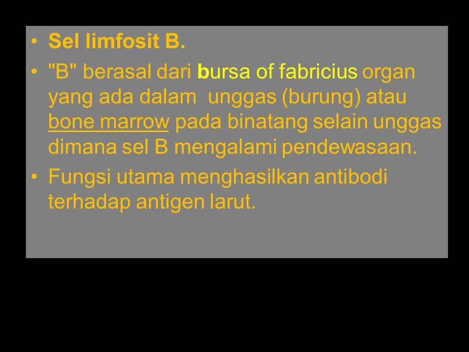Sel limfosit B.