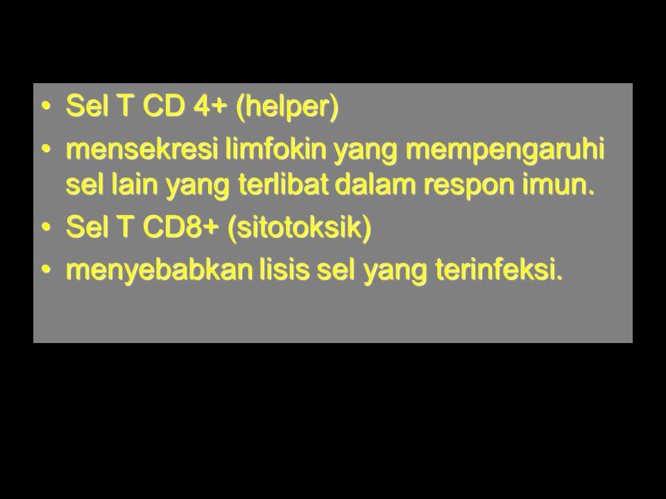 Sel T CD 4+ (helper)Sel T CD 4+ (helper) mensekresi limfokin yang mempengaruhi sel lain yang terlibat dalam respon imun.mensekresi limfokin yang mempengaruhi sel lain yang terlibat dalam respon imun.