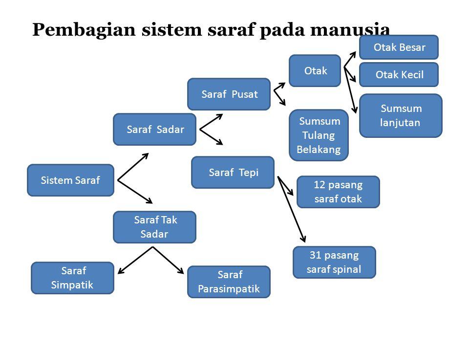 Pembagian sistem saraf pada manusia Sistem Saraf Saraf Sadar Saraf Tak Sadar Saraf Pusat Saraf Tepi Saraf Simpatik Saraf Parasimpatik Otak Sumsum Tulang Belakang Otak Besar Otak Kecil Sumsum lanjutan 12 pasang saraf otak 31 pasang saraf spinal