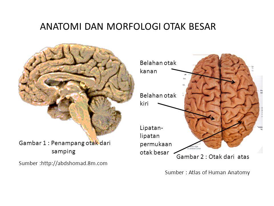 Sumber :http://abdshomad.8m.com Sumber : Atlas of Human Anatomy ANATOMI DAN MORFOLOGI OTAK BESAR Belahan otak kanan Belahan otak kiri Lipatan- lipatan permukaan otak besar Gambar 1 : Penampang otak dari samping Gambar 2 : Otak dari atas