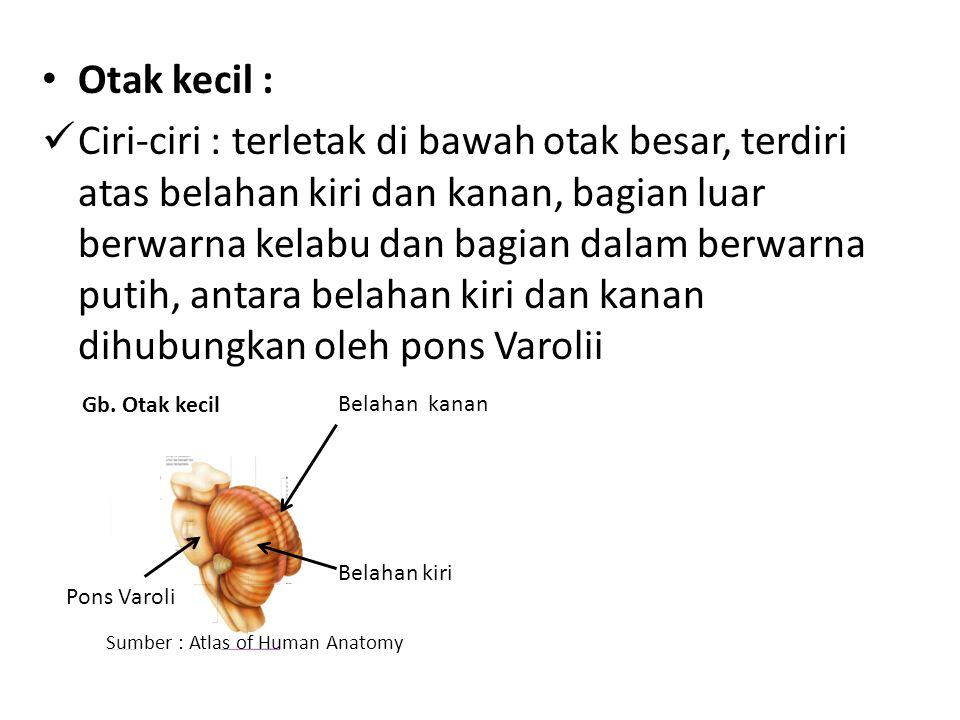 Otak kecil : Ciri-ciri : terletak di bawah otak besar, terdiri atas belahan kiri dan kanan, bagian luar berwarna kelabu dan bagian dalam berwarna putih, antara belahan kiri dan kanan dihubungkan oleh pons Varolii Belahan kanan Belahan kiri Pons Varoli Gb.