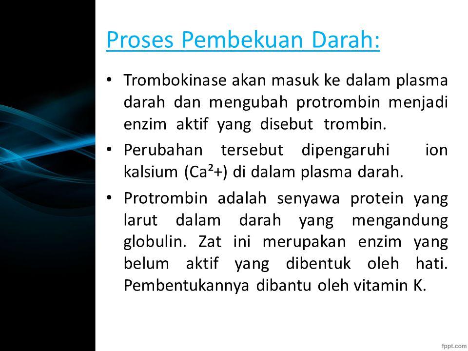Proses Pembekuan Darah: Trombokinase akan masuk ke dalam plasma darah dan mengubah protrombin menjadi enzim aktif yang disebut trombin.