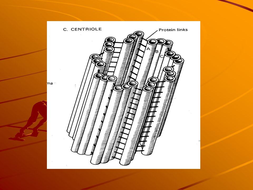 Sentriol Pada sel hewan, jarang sel tumbuhan Dekat inti, sepasang Beruntai 3, jumlah 9 Fungsi:- orientasi mitosis - Mengontrol gerakan dari tonjolan s