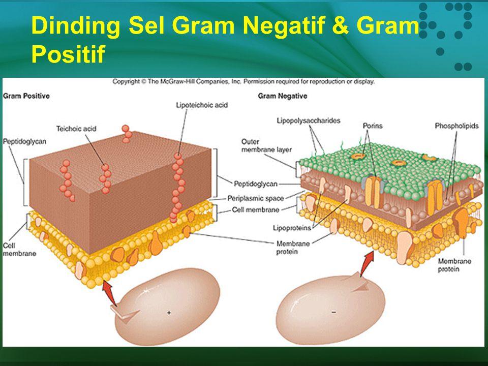 Dinding Sel  Struktur: dinding yg keras/kaku terbuat dari sellulose, protein, dan karbohidrat  Fungsi: garis pembatas di sekeliling sel diluar membr