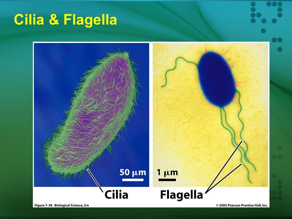 Cilia & Flagella Struktur: Organel yg menyerupai rambut; perpanjangan dari permukaan sel Fungsi : pergerakan sel tersusun dari 9 pasang mikrotubule ya