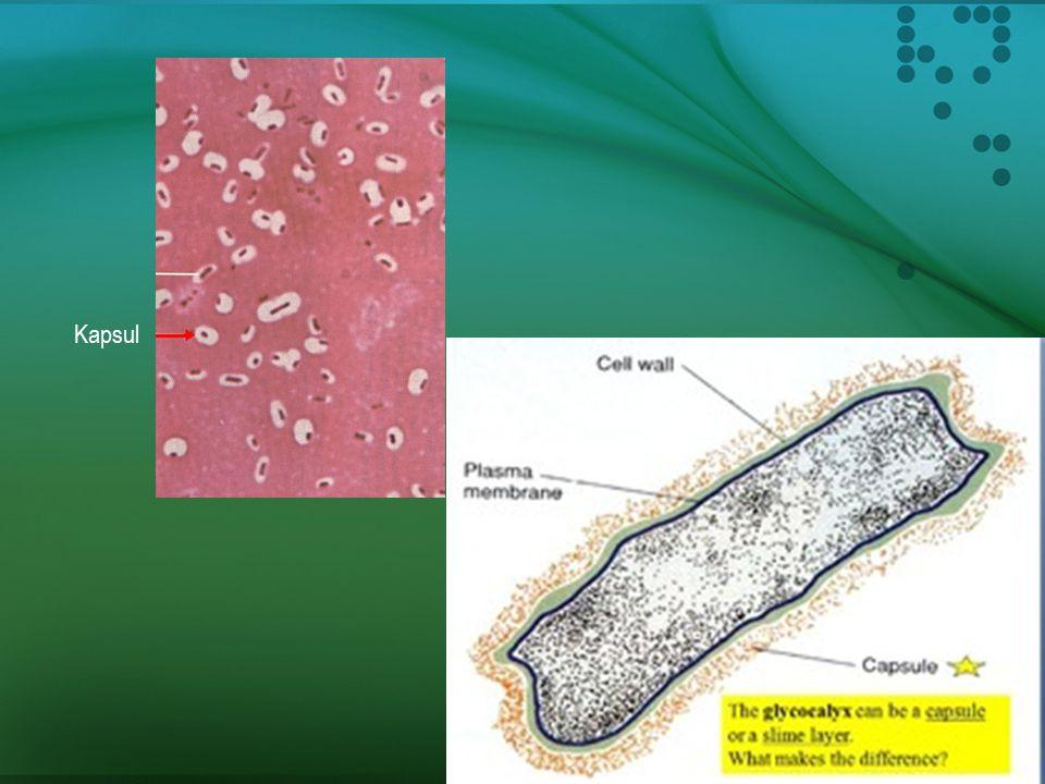 Kapsul dan Lapisan Lumpur (Slime Layer)  Banyak organisme prokaryote mensekresikan bahan-bahan seperti lumpur (slimy) atau permen karet (gummy).  St