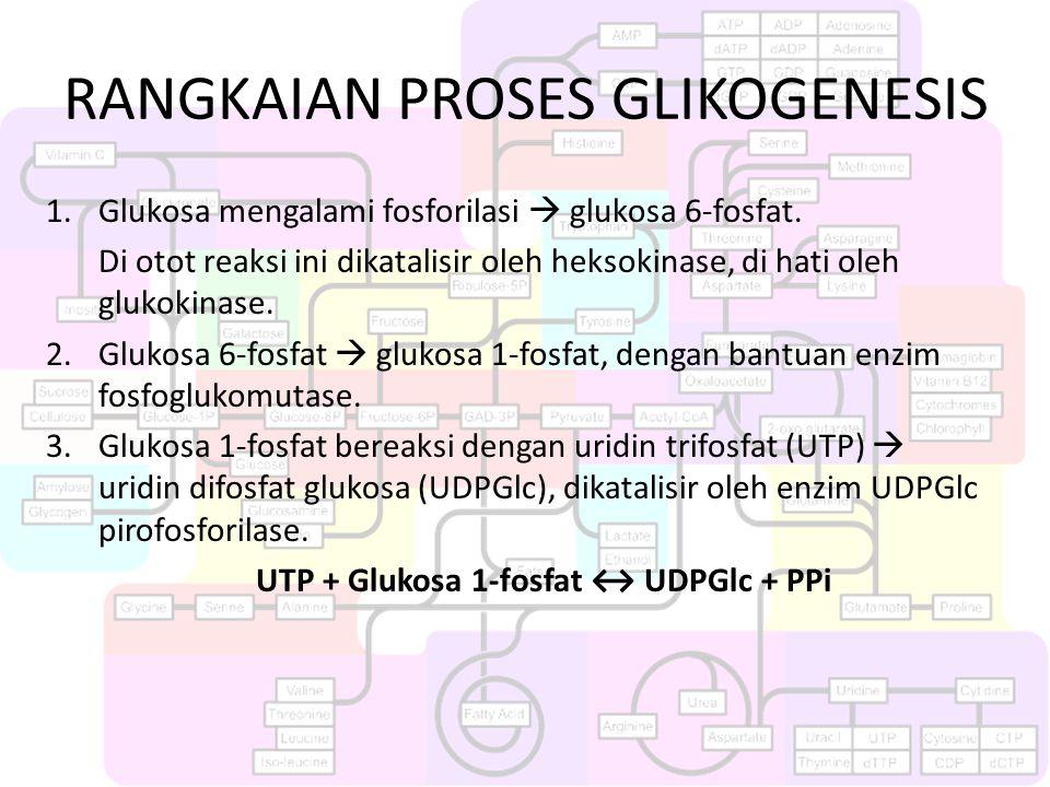 RANGKAIAN PROSES GLIKOGENESIS 1.Glukosa mengalami fosforilasi  glukosa 6-fosfat. Di otot reaksi ini dikatalisir oleh heksokinase, di hati oleh glukok