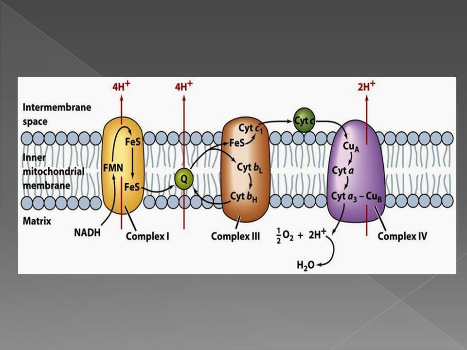  Kompleks ini terdiri dari molekul FMN (Flavinmononukleotida) dan besi sulfur  Fungsi dari kompleks I adalah memecah NADH menjadi NAD+ dan H+.