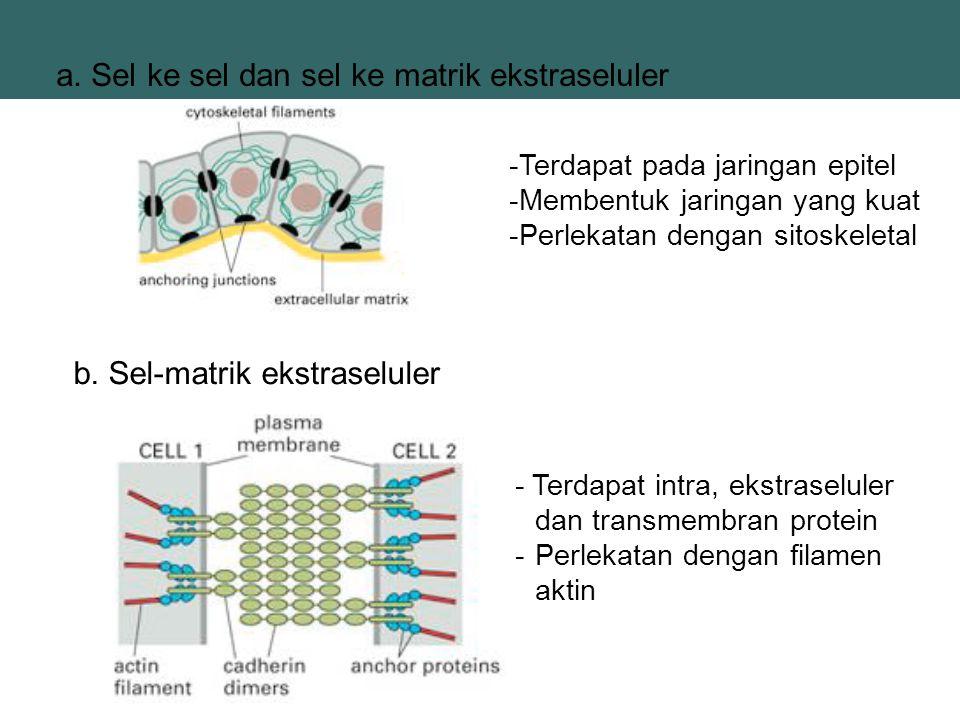 b. Sel-matrik ekstraseluler a. Sel ke sel dan sel ke matrik ekstraseluler -Terdapat pada jaringan epitel -Membentuk jaringan yang kuat -Perlekatan den