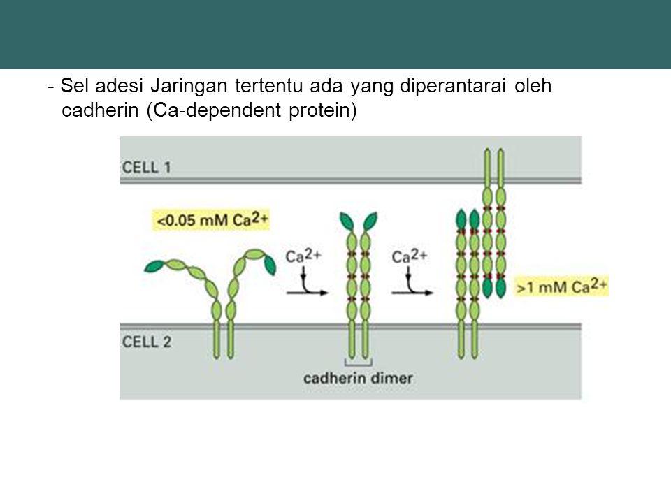- Sel adesi Jaringan tertentu ada yang diperantarai oleh cadherin (Ca-dependent protein)